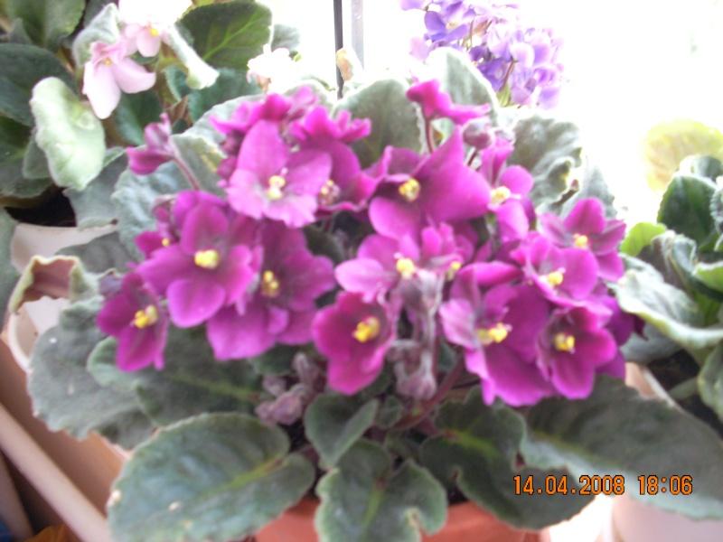 Flori de apartament-Îngrijire,înmulţire şi exponate 6_10