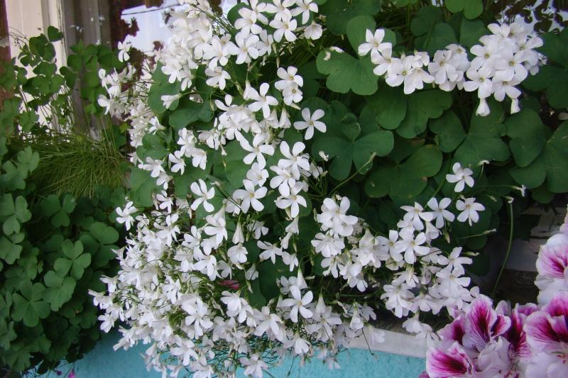 Flori de apartament-Îngrijire,înmulţire şi exponate 711