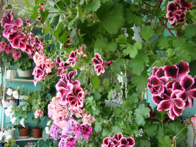 Flori de apartament-Îngrijire,înmulţire şi exponate Ateneu10