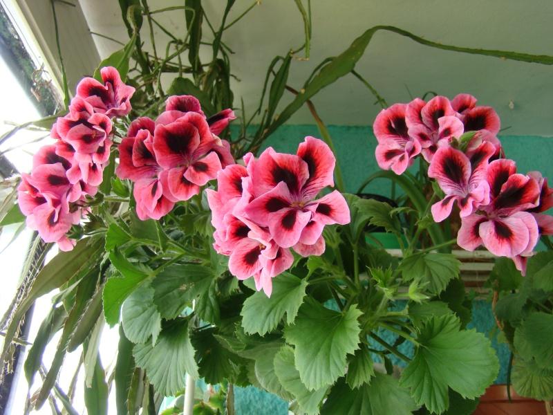 Flori de apartament-Îngrijire,înmulţire şi exponate Ateneu11
