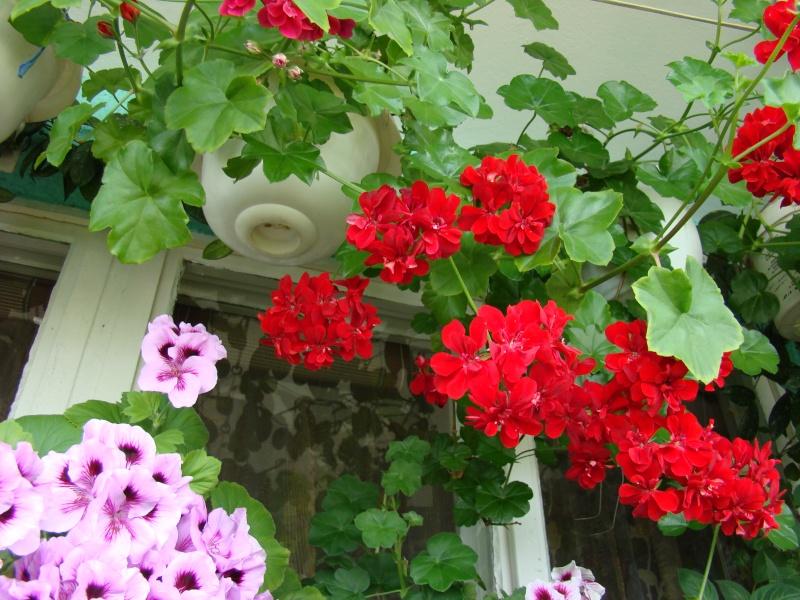 Flori de apartament-Îngrijire,înmulţire şi exponate Ateneu12