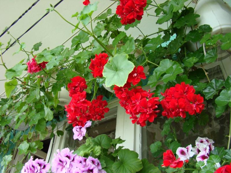 Flori de apartament-Îngrijire,înmulţire şi exponate Ateneu13