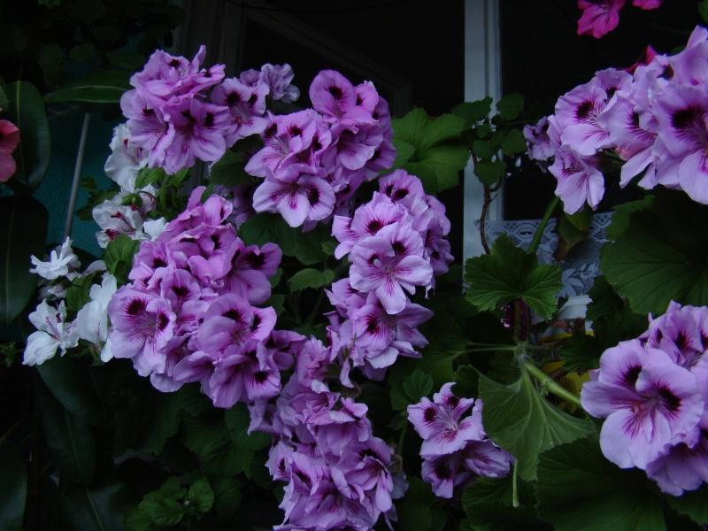 Flori de apartament-Îngrijire,înmulţire şi exponate Balcon10