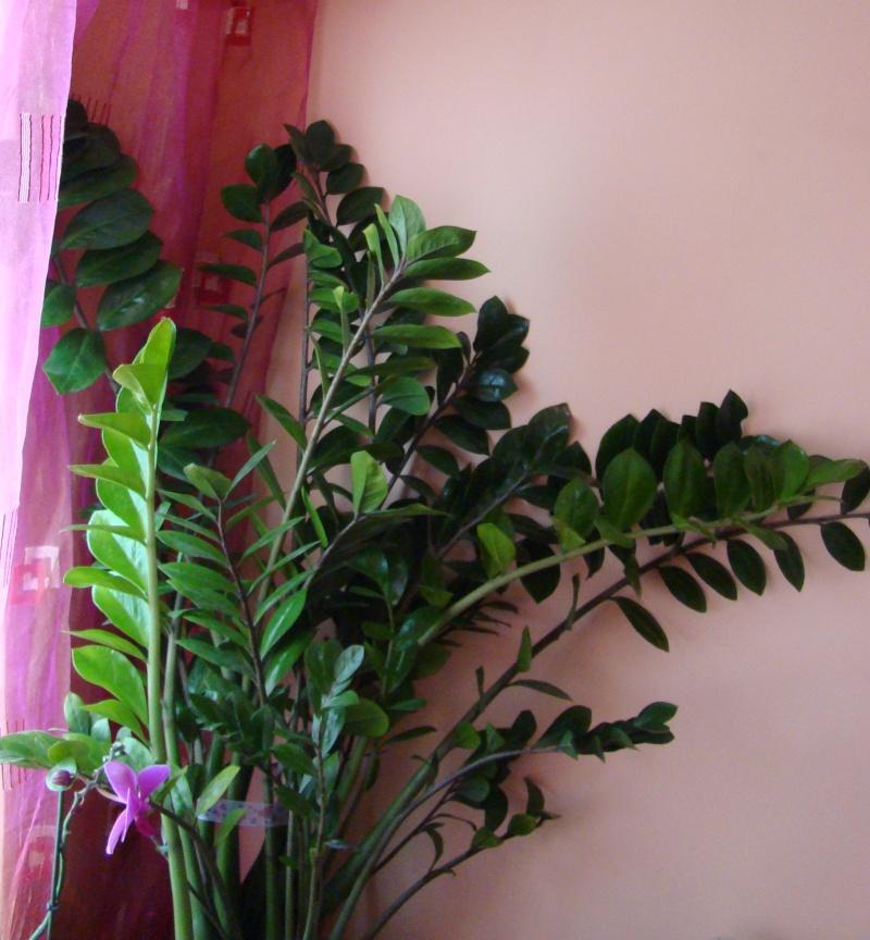 Flori de apartament-Îngrijire,înmulţire şi exponate Balcon16