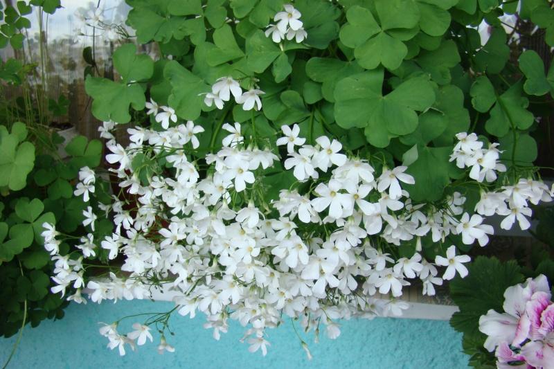 Flori de apartament-Îngrijire,înmulţire şi exponate Balcon25
