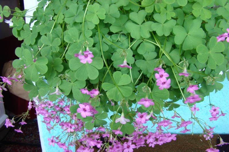 Flori de apartament-Îngrijire,înmulţire şi exponate Balcon26