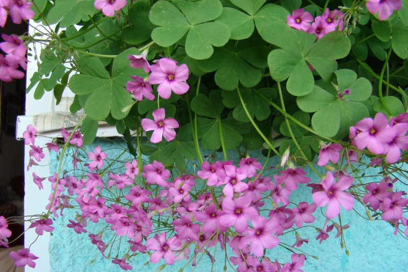 Flori de apartament-Îngrijire,înmulţire şi exponate Balcon27