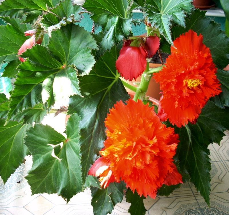 Flori de apartament-Îngrijire,înmulţire şi exponate Balcon28