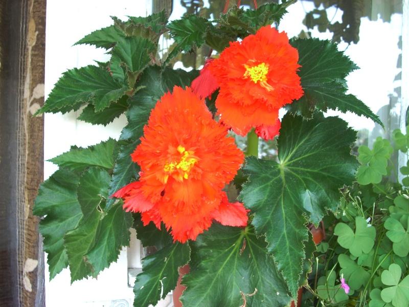 Flori de apartament-Îngrijire,înmulţire şi exponate Balcon29