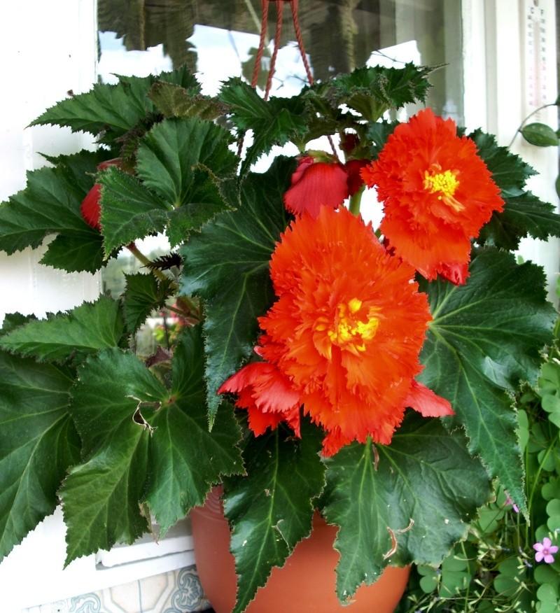Flori de apartament-Îngrijire,înmulţire şi exponate Balcon30