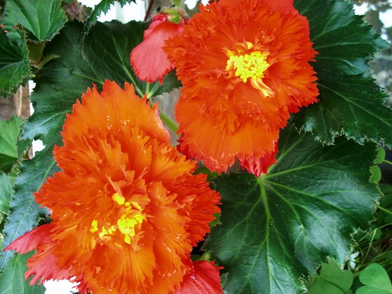 Flori de apartament-Îngrijire,înmulţire şi exponate Balcon31
