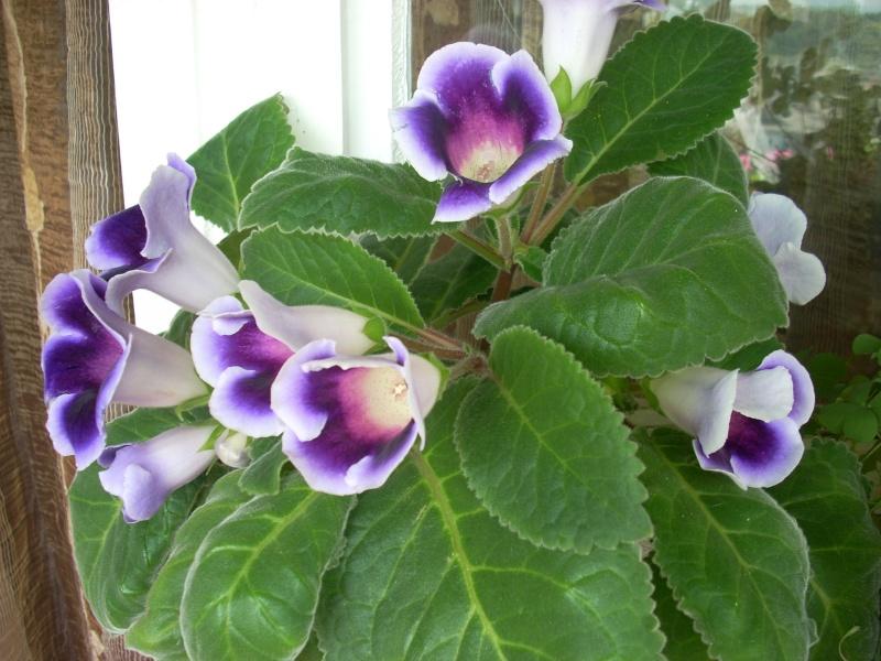 Flori de apartament-Îngrijire,înmulţire şi exponate Balcon33