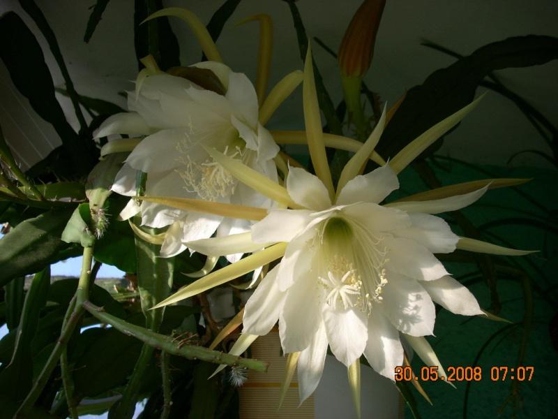 Flori de apartament-Îngrijire,înmulţire şi exponate Cactus11