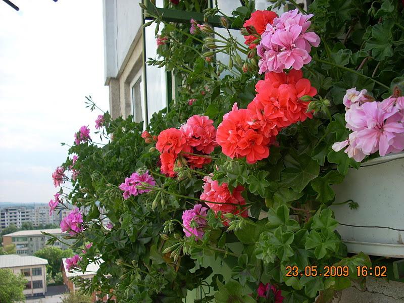 Flori de apartament-Îngrijire,înmulţire şi exponate Clip_132