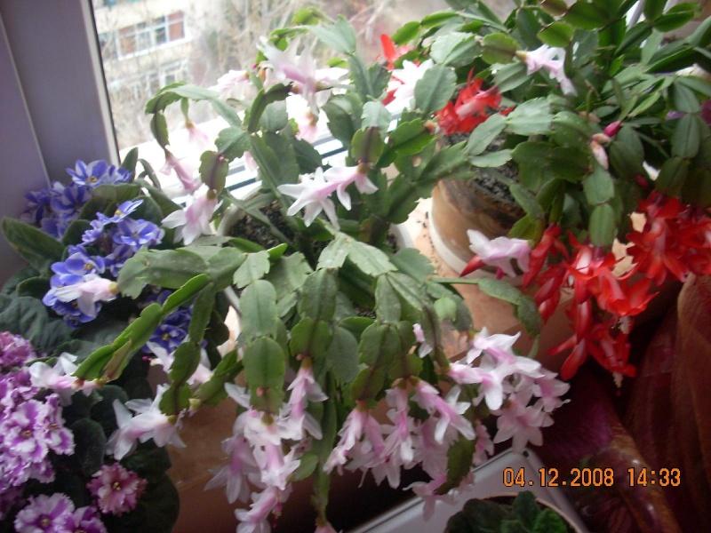 Flori de apartament-Îngrijire,înmulţire şi exponate Clip_187