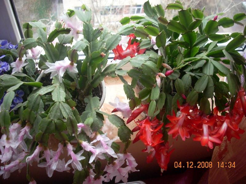 Flori de apartament-Îngrijire,înmulţire şi exponate Clip_188