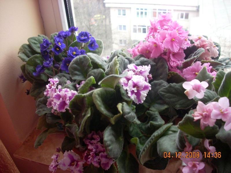 Flori de apartament-Îngrijire,înmulţire şi exponate Clip_189