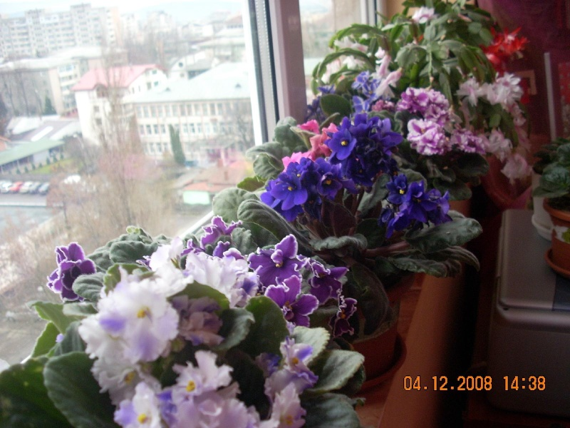 Flori de apartament-Îngrijire,înmulţire şi exponate Clip_190