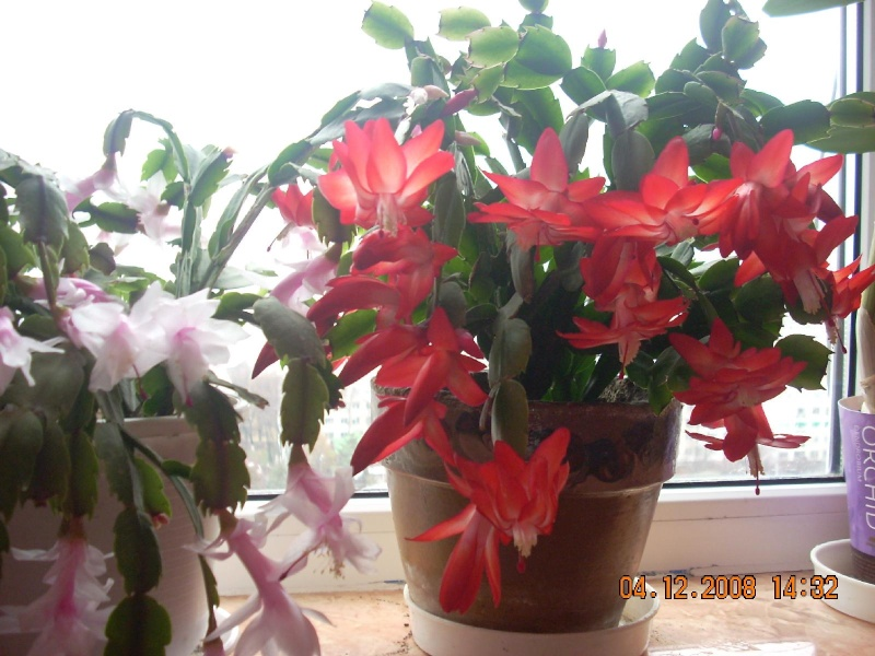 Flori de apartament-Îngrijire,înmulţire şi exponate Clip_357