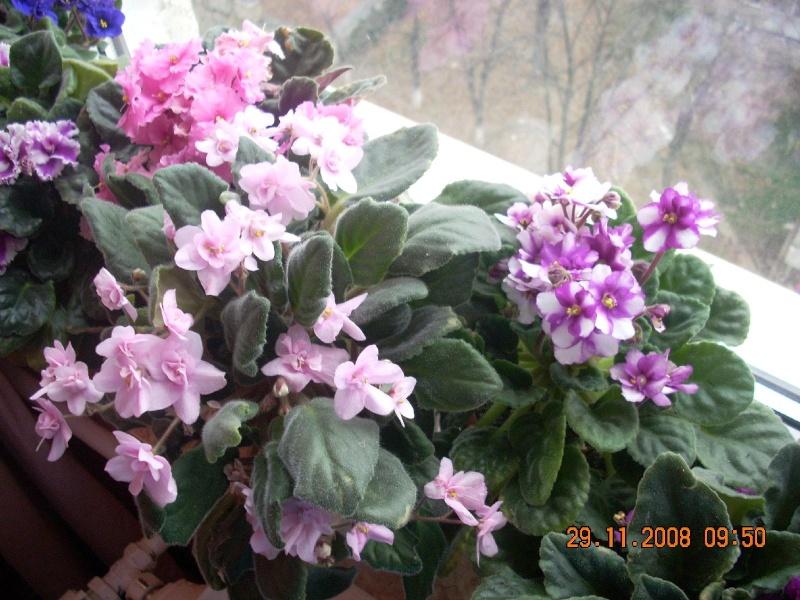 Flori de apartament-Îngrijire,înmulţire şi exponate Clip_424