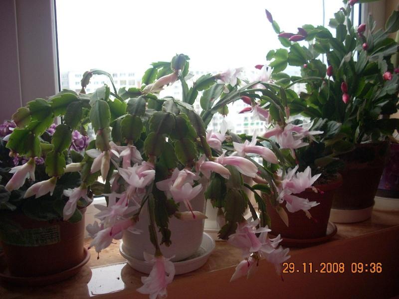 Flori de apartament-Îngrijire,înmulţire şi exponate Clip_521