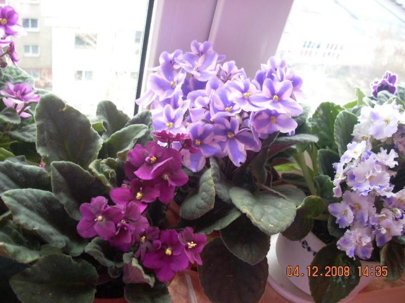 Flori de apartament-Îngrijire,înmulţire şi exponate Clip_625