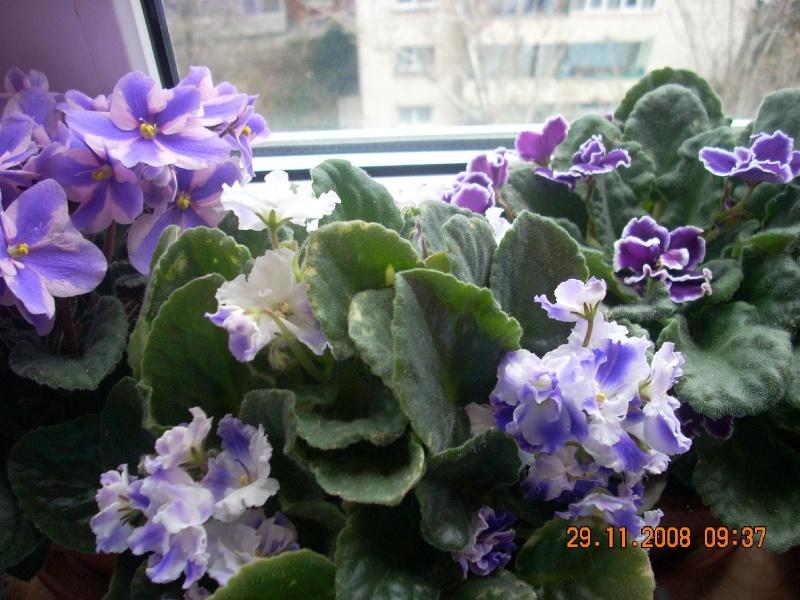 Flori de apartament-Îngrijire,înmulţire şi exponate Clip_821