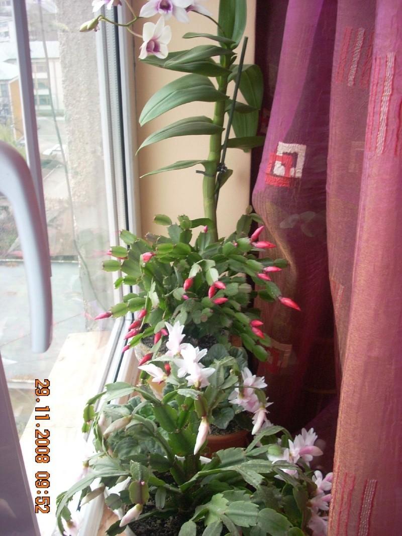 Flori de apartament-Îngrijire,înmulţire şi exponate Clip_918