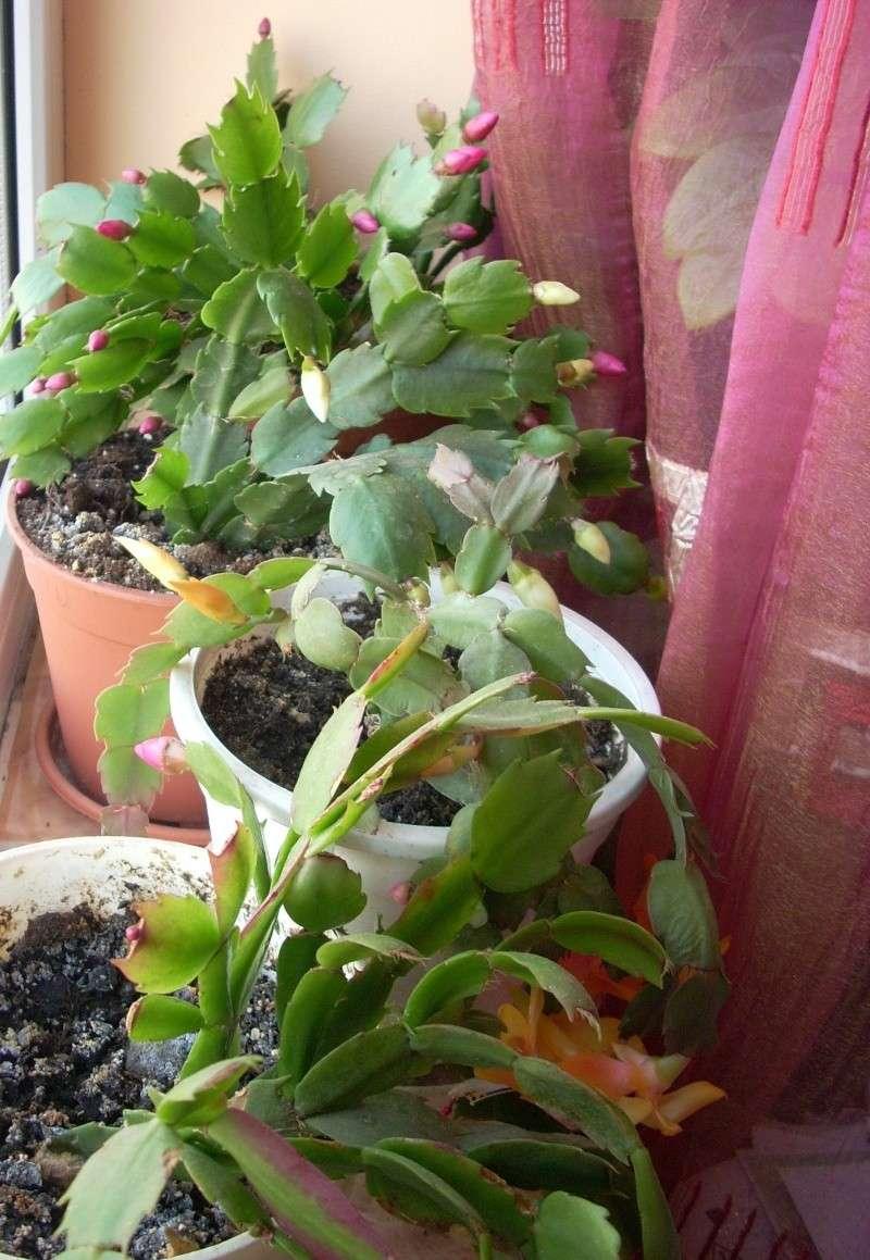 Flori de apartament-Îngrijire,înmulţire şi exponate Craciu11