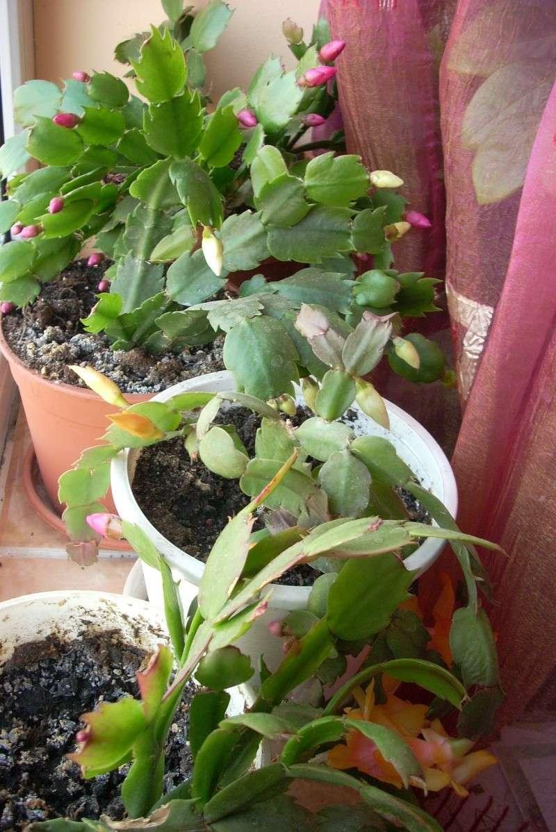 Flori de apartament-Îngrijire,înmulţire şi exponate Craciu12