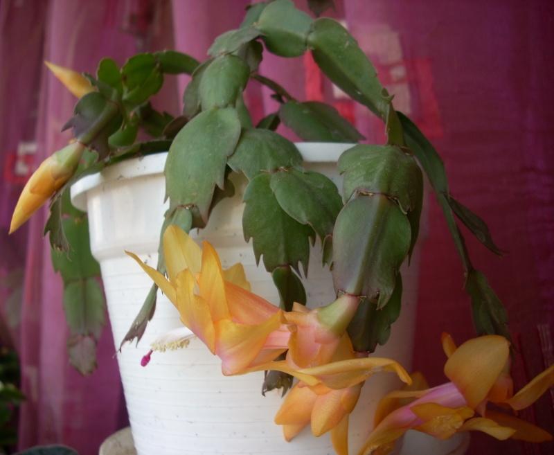 Flori de apartament-Îngrijire,înmulţire şi exponate Craciu13
