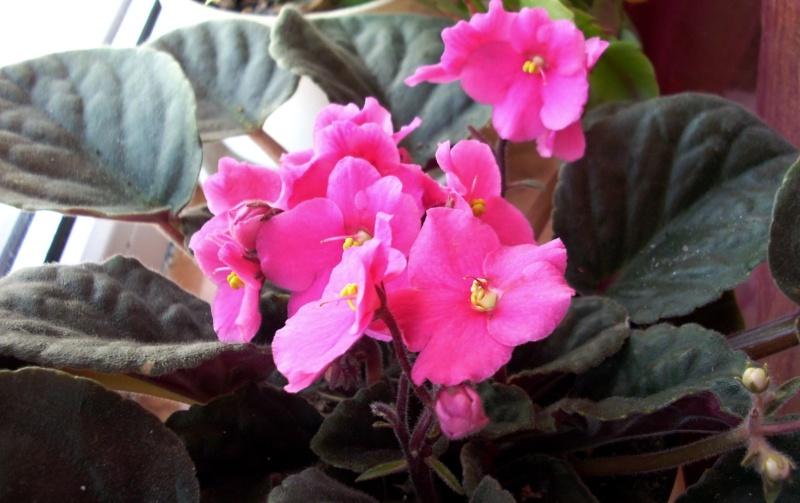 Flori de apartament-Îngrijire,înmulţire şi exponate Craciu14