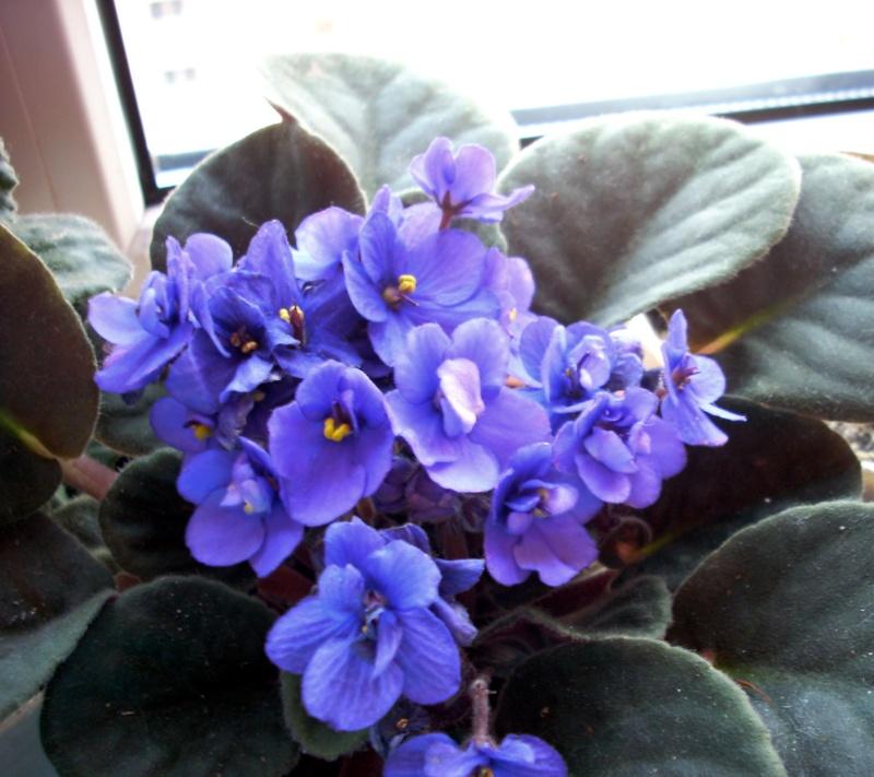 Flori de apartament-Îngrijire,înmulţire şi exponate Craciu15