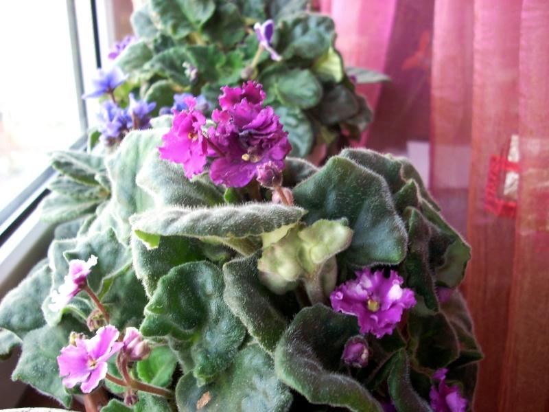 Flori de apartament-Îngrijire,înmulţire şi exponate Craciu16
