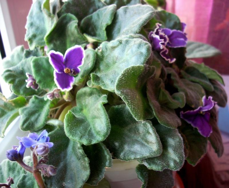 Flori de apartament-Îngrijire,înmulţire şi exponate Craciu17