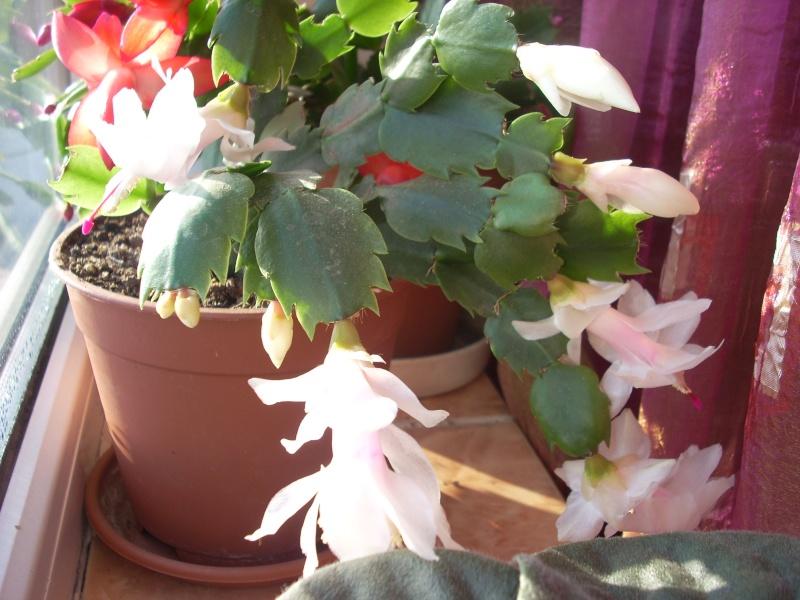 Flori de apartament-Îngrijire,înmulţire şi exponate Craciu18
