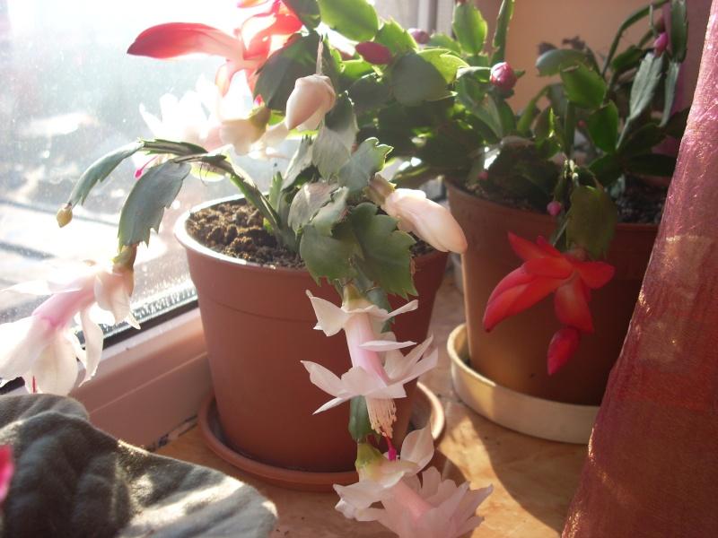 Flori de apartament-Îngrijire,înmulţire şi exponate Craciu19