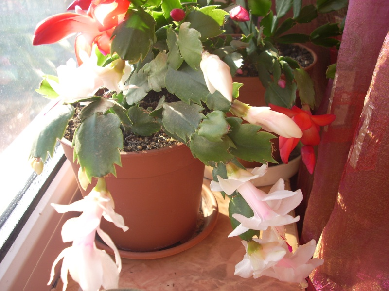 Flori de apartament-Îngrijire,înmulţire şi exponate Craciu20
