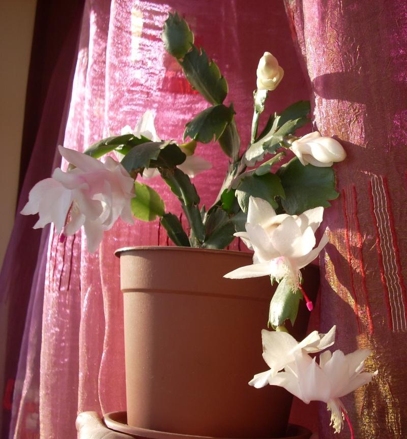 Flori de apartament-Îngrijire,înmulţire şi exponate Craciu21