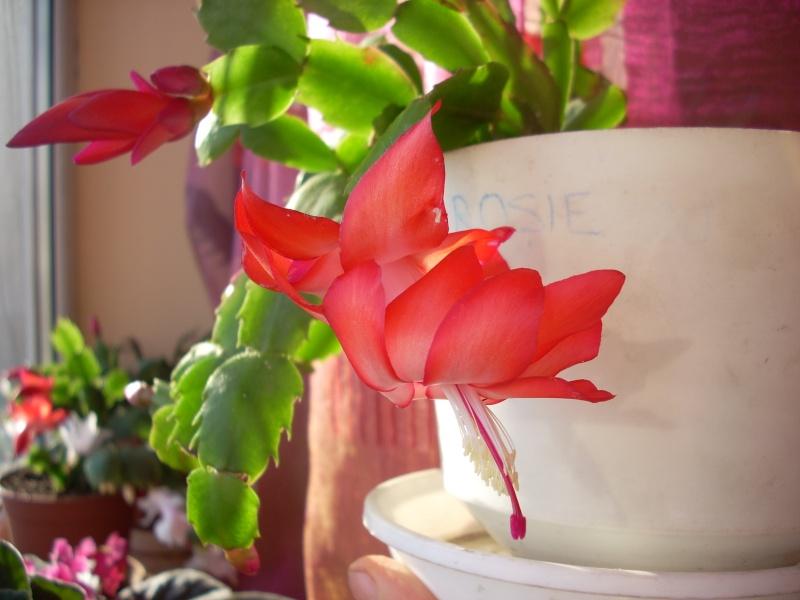 Flori de apartament-Îngrijire,înmulţire şi exponate Craciu22