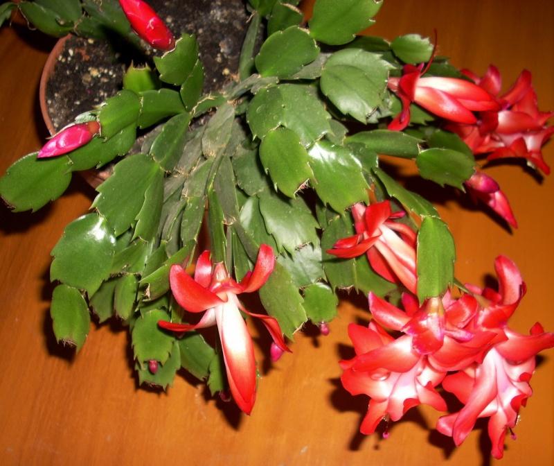 Flori de apartament-Îngrijire,înmulţire şi exponate Craciu25