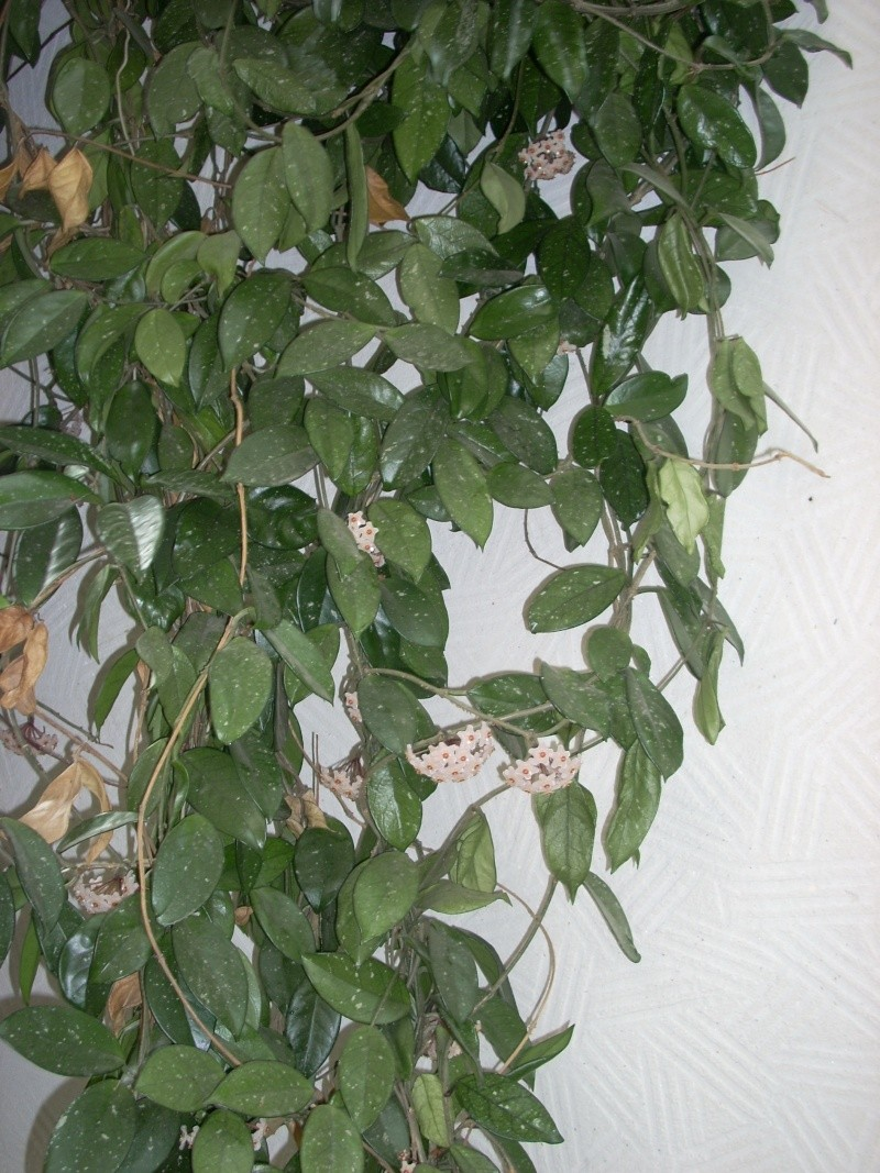 Flori de apartament-Îngrijire,înmulţire şi exponate Cucute16