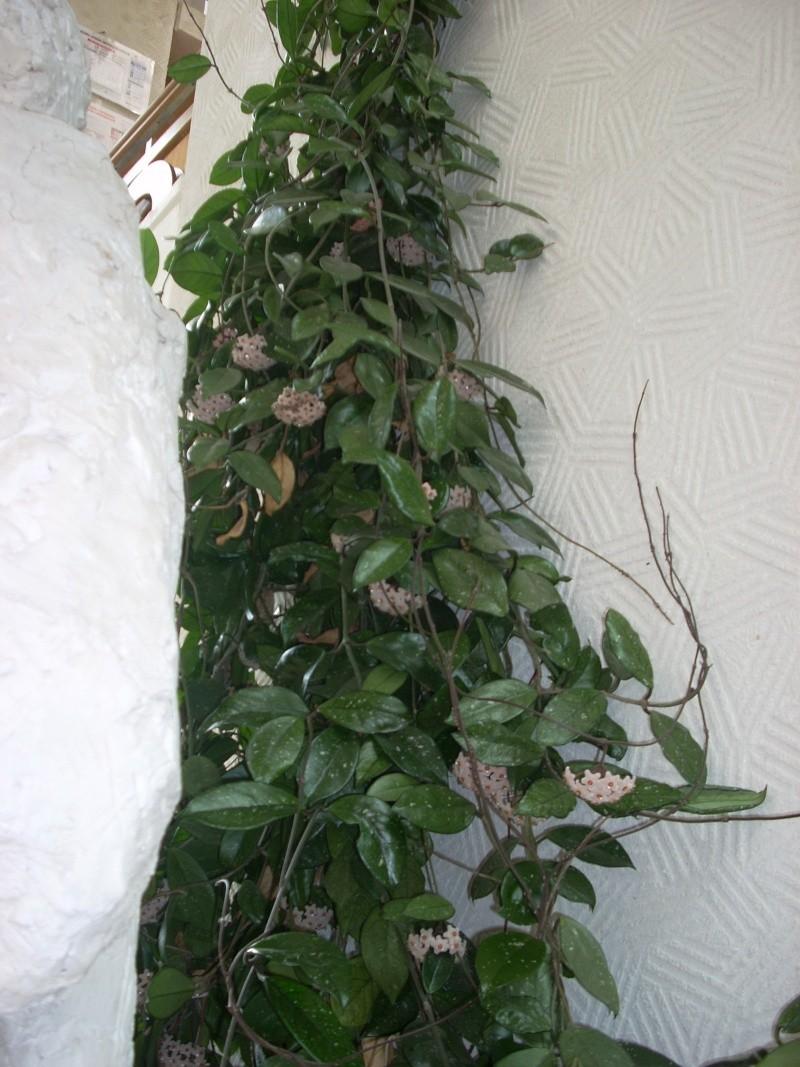 Flori de apartament-Îngrijire,înmulţire şi exponate Cucute17