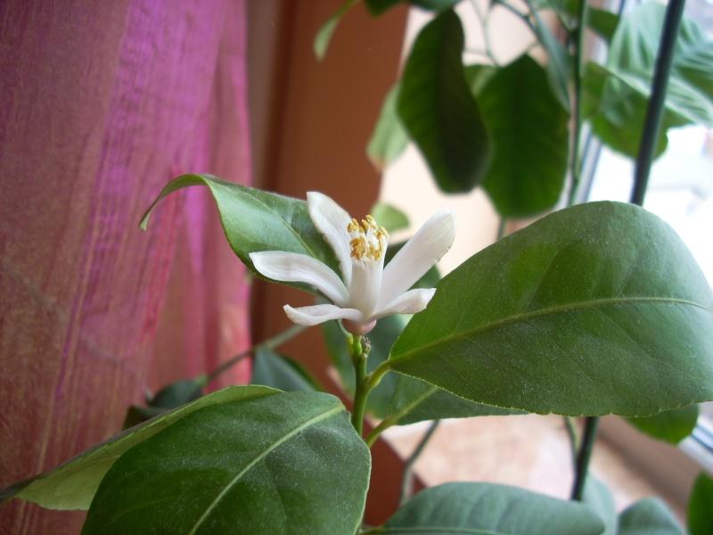 Flori de apartament-Îngrijire,înmulţire şi exponate Floare15