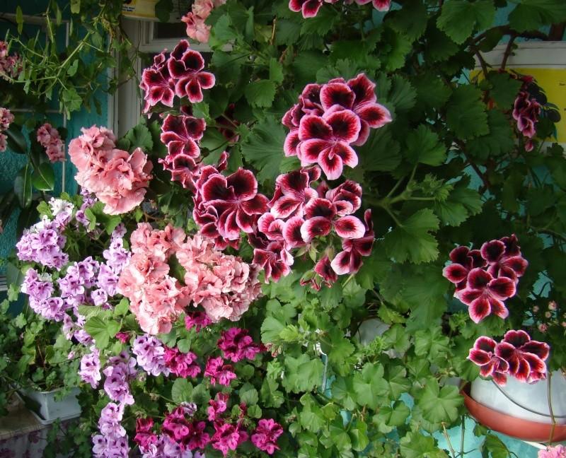 Flori de apartament-Îngrijire,înmulţire şi exponate Flori-10