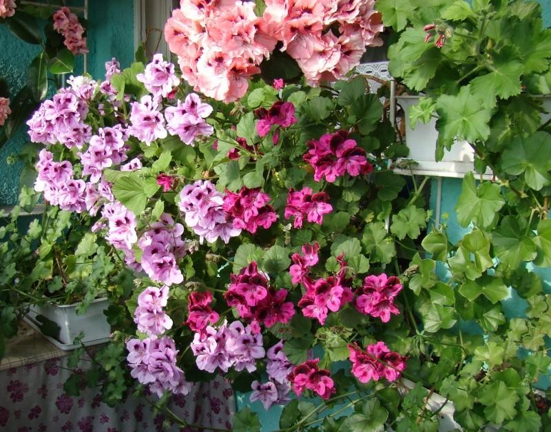 Flori de apartament-Îngrijire,înmulţire şi exponate Flori-11