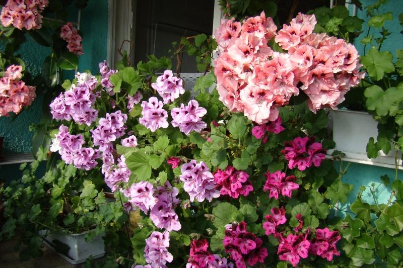 Flori de apartament-Îngrijire,înmulţire şi exponate Flori-12