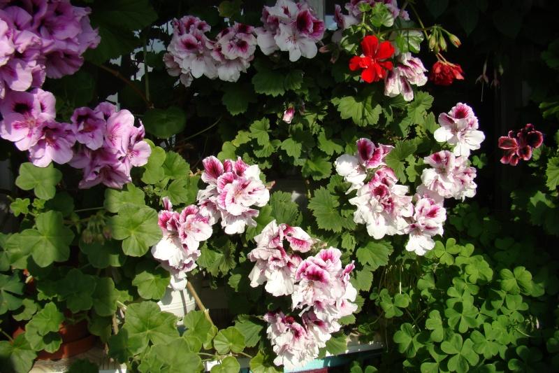 Flori de apartament-Îngrijire,înmulţire şi exponate Flori-13