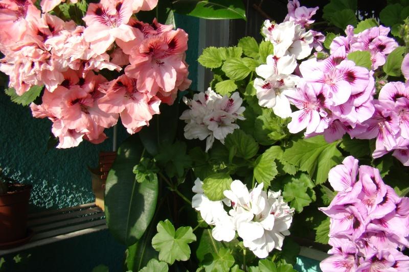 Flori de apartament-Îngrijire,înmulţire şi exponate Flori-14