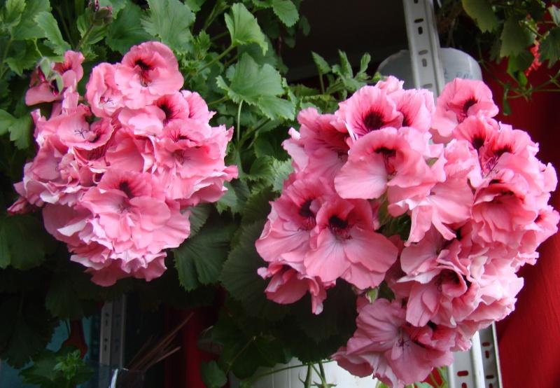 Flori de apartament-Îngrijire,înmulţire şi exponate Flori-15